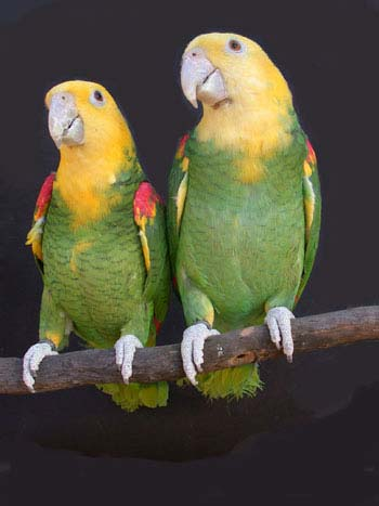 http://www.elitparrots.ru/Images/am5b.jpg