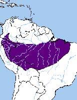Арасари синебровый
