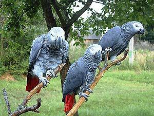 Parrot - Жако.