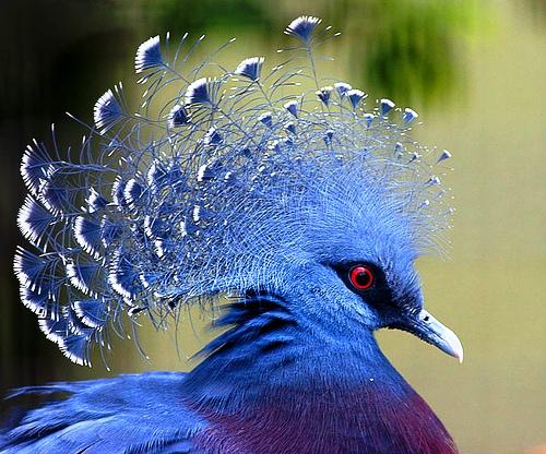 Картинки по запросу Веероносный венценосный голубь