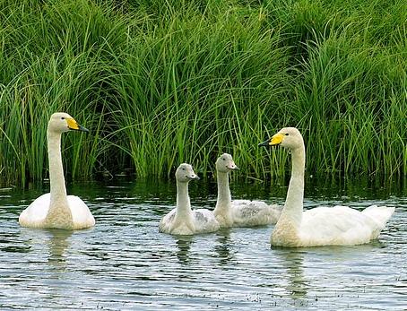 На крыле у всех птиц блестящее зеркало