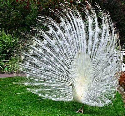 Индусы с глубокой древности считают павлина священной птицей.  Индуистское духовенство веками подкармливало и...