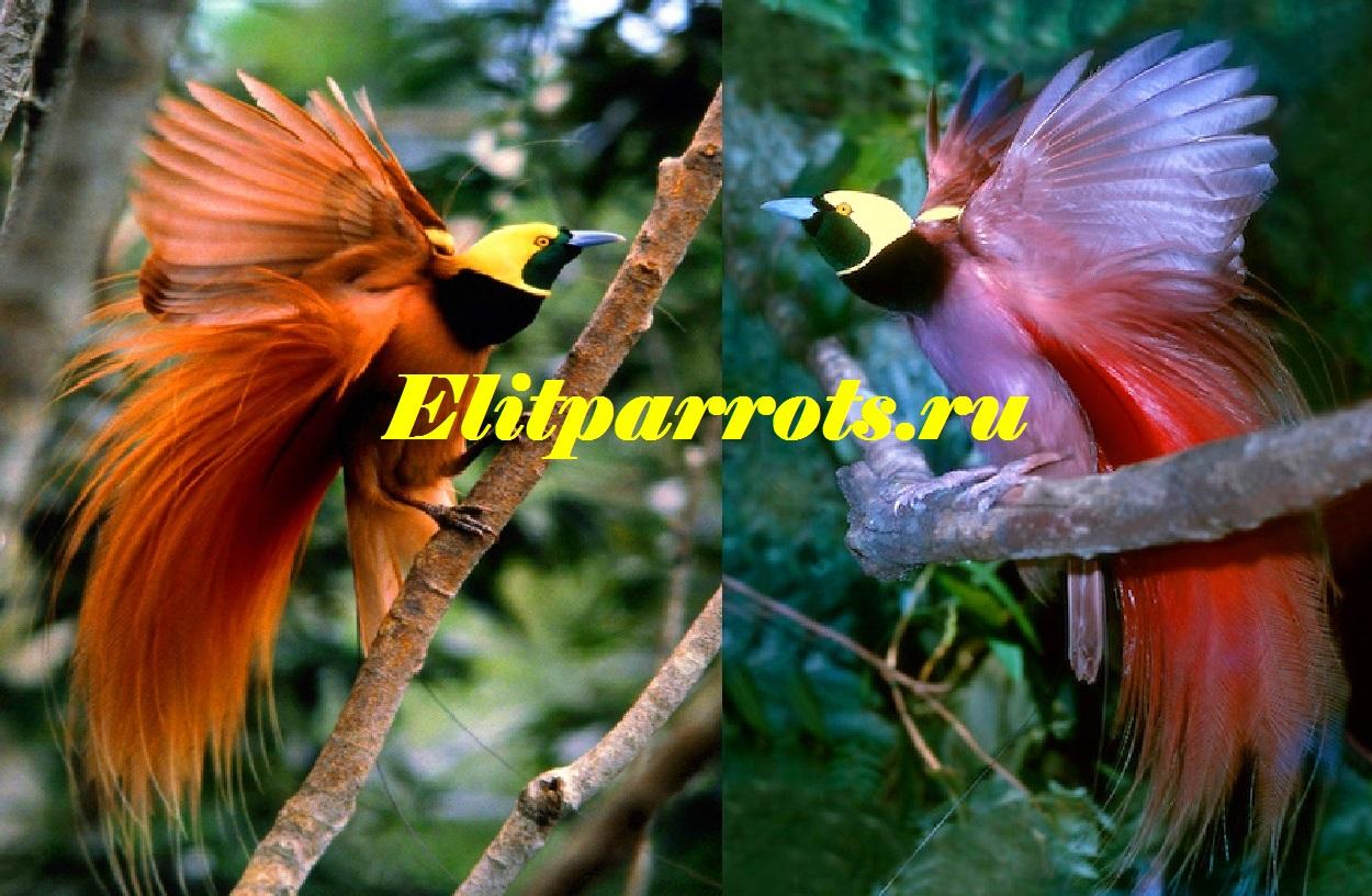 Малая райская птица paradisaea minor — вид
