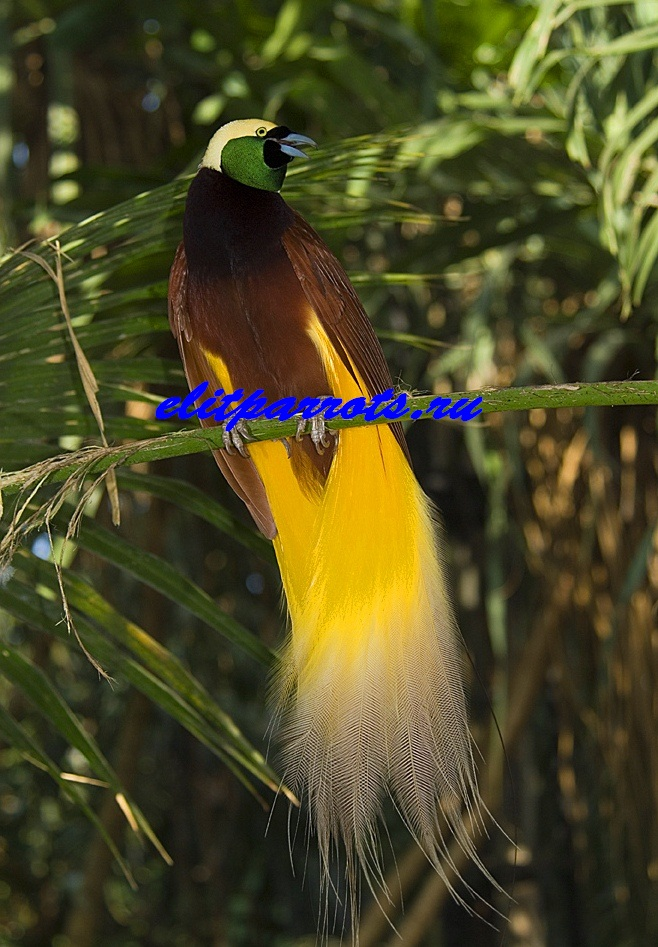 Императорская райская птица